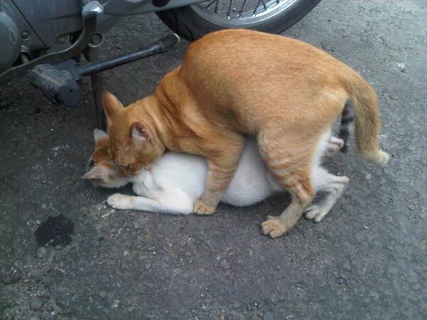 Kucing Pecas Ndahe