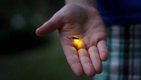 firefly_glow.jpg.560x0_q80_crop-smart
